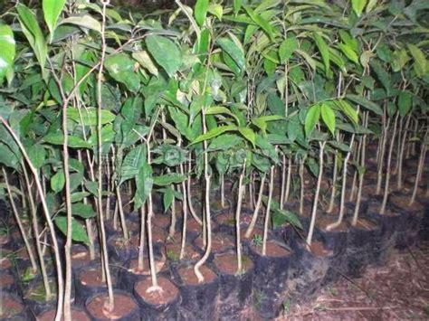 Teh Daun Gaharu herbal jawa teh daun gaharu menyegarkan tubuh dan pikiran