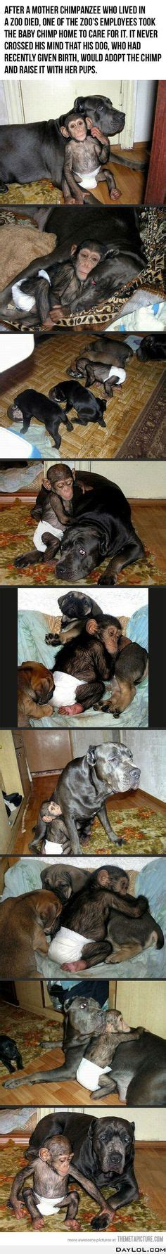 monkey adopts puppy 1000 images about on zodiac monkey and a