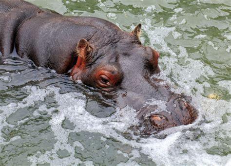 Animal Planet World S Most Dangerous Animals the most dangerous animal is hippos cool kid facts