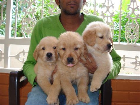 pug puppies for sale in bangalore golden retriever puppies for sale in bangalore www proteckmachinery