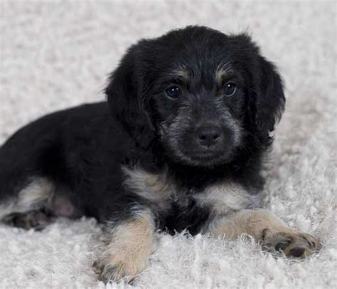 labradoodle puppies rescue labradoodle puppies for sale adoption from mission columbia greater vancouver