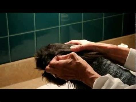 shih tzu ear cleaning 33 best images about shih tzu grooming tips on grooms daily routines and