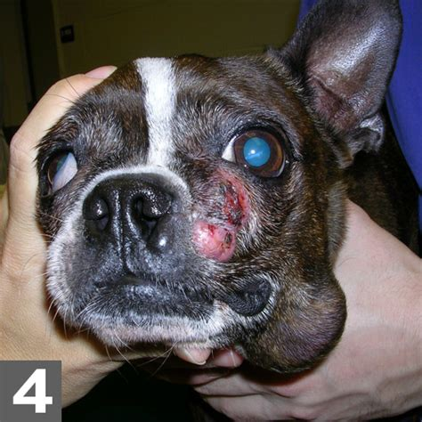 mast cell tumor symptoms mast cell tumor nose www imgkid the image kid has it