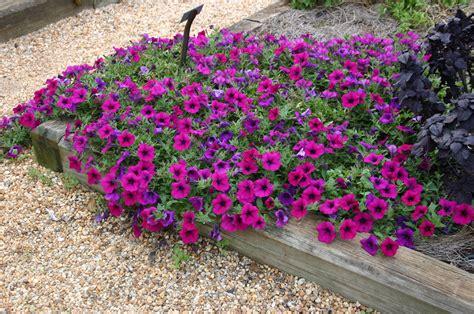petunia growing  seed walter reeves  georgia