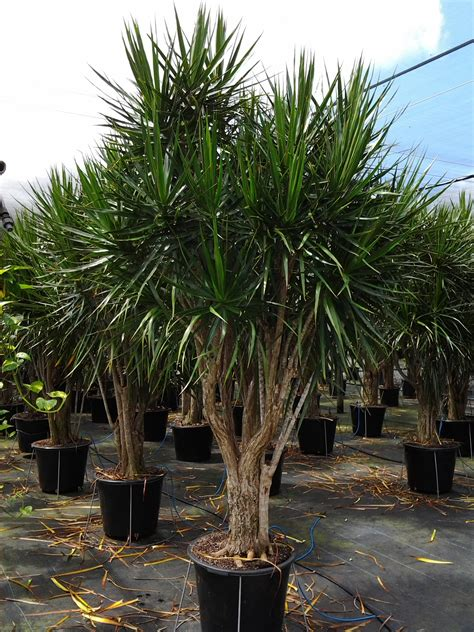 buy house plants now dracaena marginata green bakker com dracaena marginata google search wanna buy pinterest