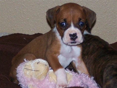 puppies for adoption indianapolis sweet and healthy boxer puppy ready to go for adoption indianapolis dogs for sale