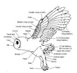 Barn Owl Beak World Of Owls What Are Owls