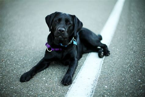 labrador retriever labrador retriever information