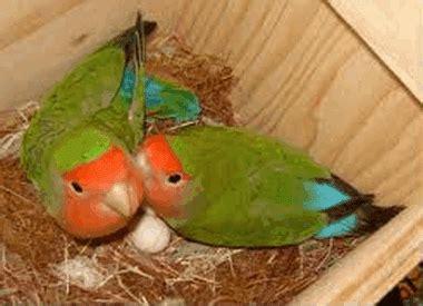 Glodok Untuk Burung By Tzo cara agar sukses ternak budidaya lovebird websiteedukasi