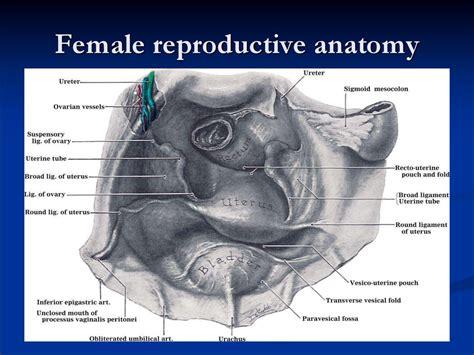 picture of women pelvic area pelvic аnatomy презентация онлайн