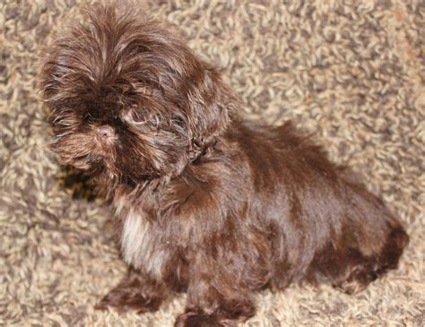 size of shih tzu tiny size shih tzu puppies orpington kent pets4homes
