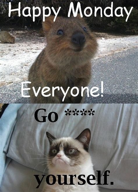 Happy Monday Meme - 17 best images about quokka on pinterest jokes happy