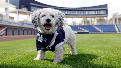 puppy world milwaukee brewers going to a named hank abc7chicago