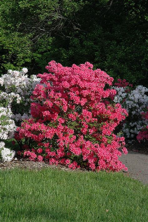 how to put lights on shrubs rosy lights azalea rhododendron rosy lights at bachman