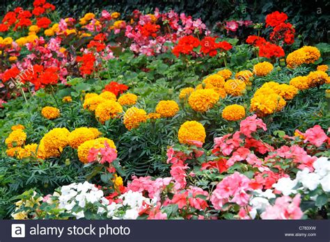 Indian Flower Garden Annual Flower In A Garden Marigold Tagetes Carnation Of Stock Photo Royalty Free