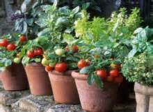 tomato container gardening ideas expert s tip ten tips for a successful tomato container