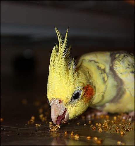 cockatiel eating millet a photo on flickriver