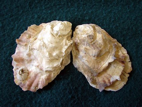 oyster shell mariculture oysters
