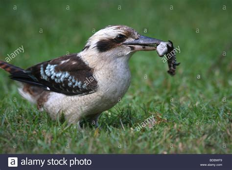 with blue tongue laughing kookaburra with juvenile blue tongue lizard stock photo royalty free image