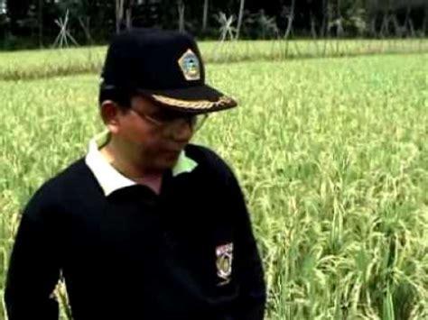 Pupuk Organik Grow More pupuk organik d i grow aplikasi pada tanaman padi di