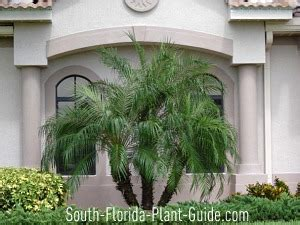 Low Height Bed pygmy date palm