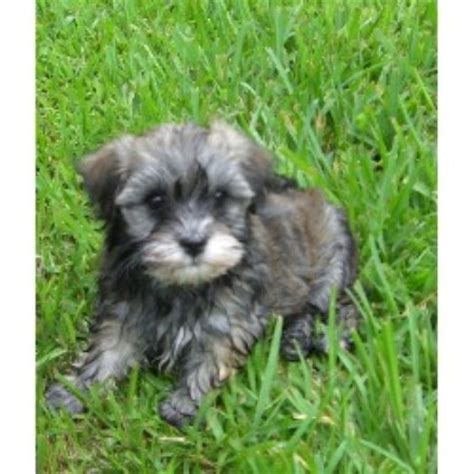 havanese rescue new york havanese breeders in washington breeds picture