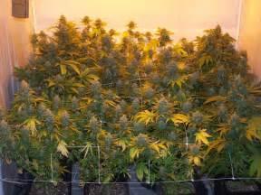grow le culture du cannabis en pots de terre du growshop