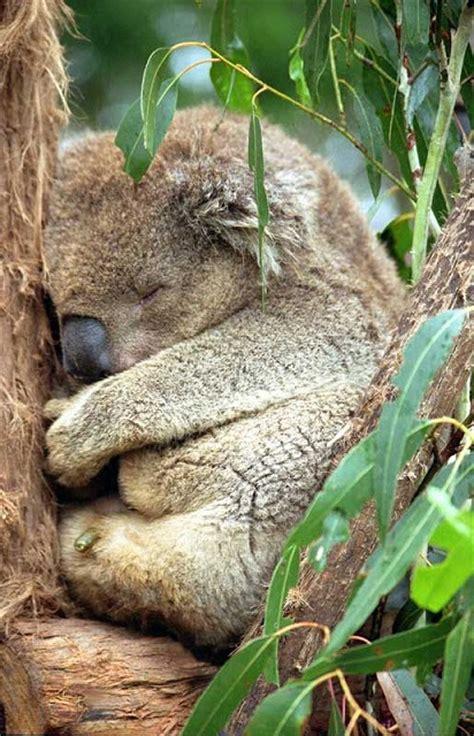 koala schlaf koalab 228 ren die experten f 252 r gesunden schlaf traumsofas