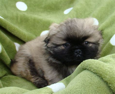 japanese chin x pomeranian for sale japanese chin x pomeranian m miki tiny 10 wk