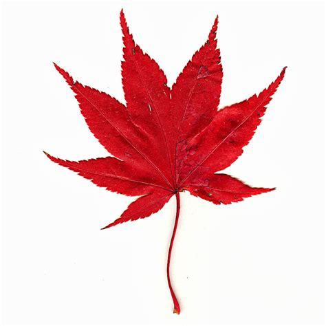 maple leaf picture clipart best