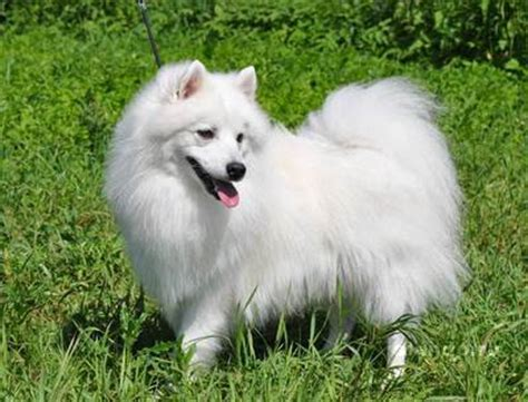 when is a no longer considered a puppy japanese spitz general features temperament health