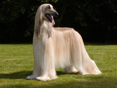 fancy puppy beautiful fancy breeds breeds puppies types of fancy breeds