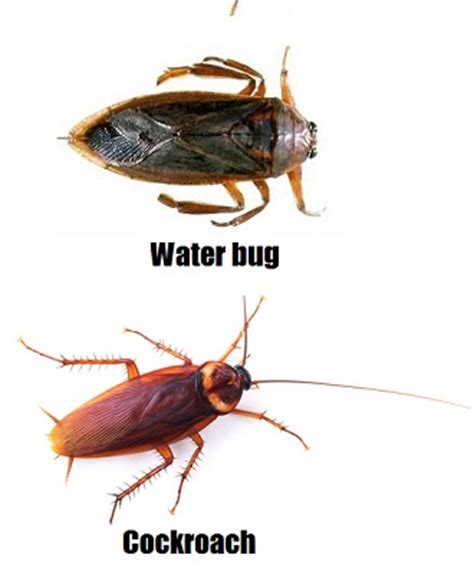 Schabe Kakerlake Unterschied by Water Bugs V Cockroaches What S The Difference