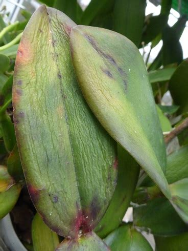 Schädlinge An Orchideen 3552 by Sch 228 Dlinge Bei Orchideen Orchideen Krankheiten Erkennen