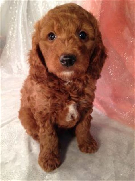 goldendoodle puppies for sale in illinois puppies for sale in iowa miniature goldendoodle dob 12 26 14