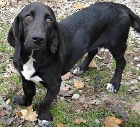 black lab and pug mix 16 basset hound cross breeds you to see to believe