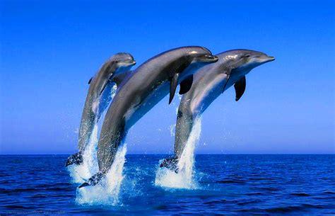 imagenes para fondo de pantalla delfines fondo de pantalla paisaje delfines saltando