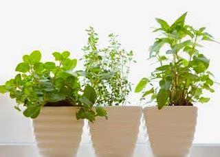 Jual Bibit Oregano Jakarta jual benih tanaman herbs