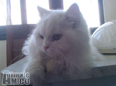 accoppiamento gatti persiani accoppiamento persiano da privato a palermo gatti