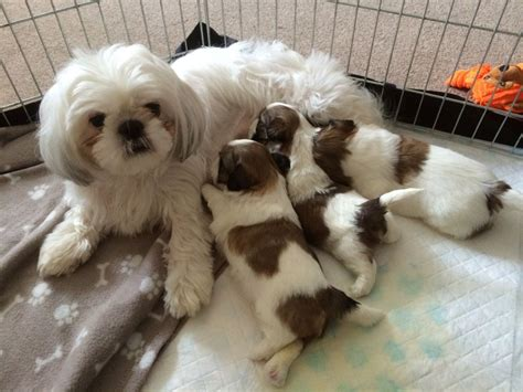 tiny shih tzu puppies search results for shih tzu haircuts cut black hairstyle and haircuts