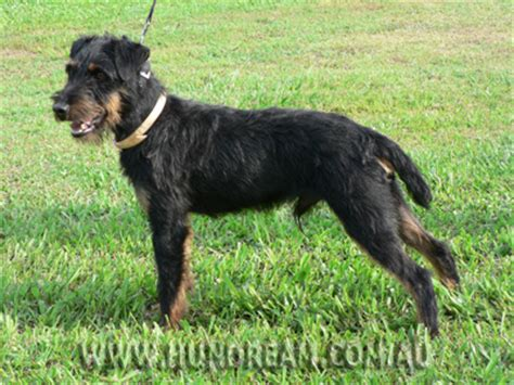 german jagdterrier puppies for sale hundream kennel jagdterrier australia our dogs