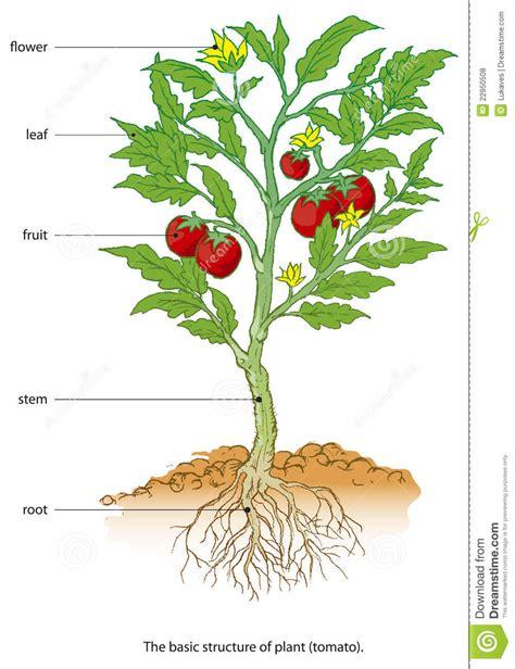 tomato flower diagram tomato stock vector illustration of ecology germinate