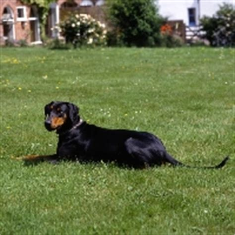 undocked australian shepherd puppies for sale the manchester terrier with an undocked and uncropped breeds picture