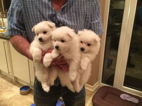 japanese spitz puppies japanese spitz puppy bromley kent pets4homes