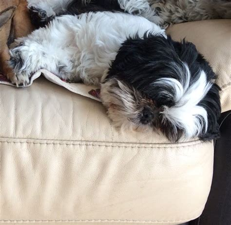 black and white shih tzu for sale black and white shih tzu for sale tunbridge kent pets4homes