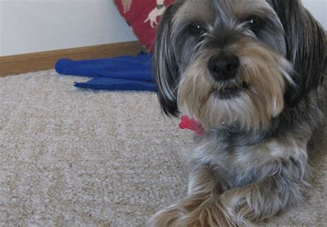 yorkie barking sounds stop a from barking in the morning thatmutt