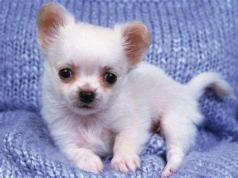 baby chihuahua puppies best 25 white chihuahua ideas on chihuahua puppies chiwawa breeds and