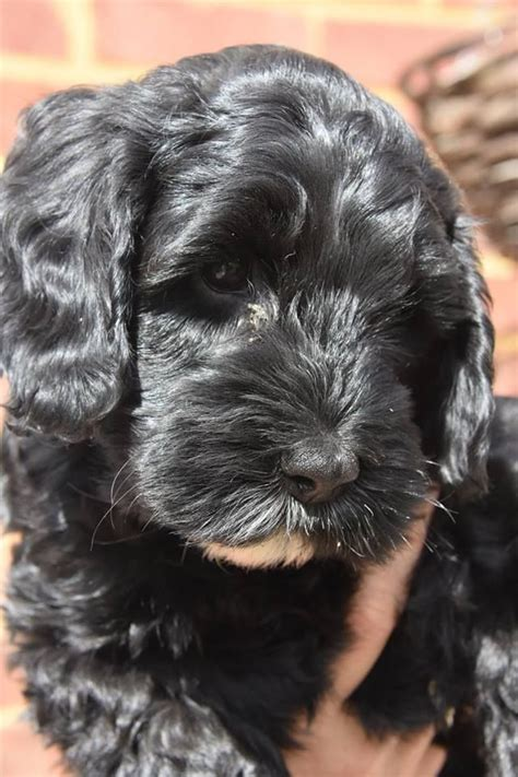 mini cockapoo puppies for sale f2 mini cockapoo puppy for sale sittingbourne kent pets4homes