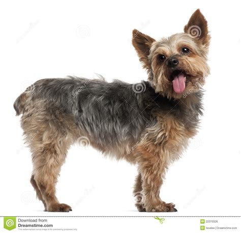 yorkie tails 50 beautiful terrier photos and pictures
