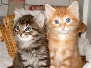 Cat Adoption Adopting Kittens